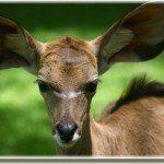 deer with large ears
