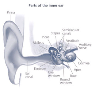 NIHL-Parts-of-the-Inner-Ear